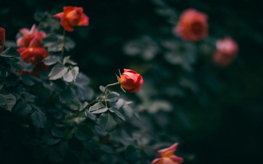 Ruusula
